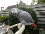 Mluvící africký papoušek šedý